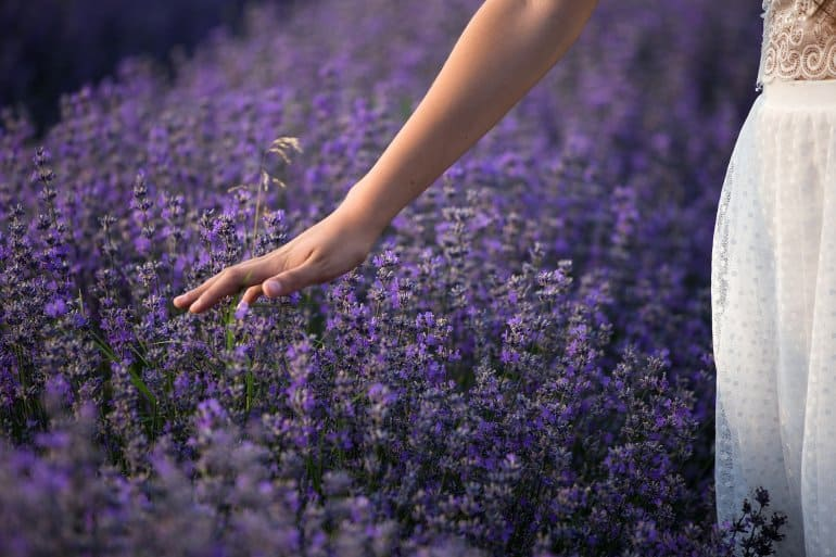 Eine Hand, die über ein Lavendelfeld gleitet.