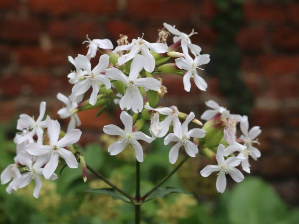 White soapwort, Saponaria officinalis, flower head with a brick wall and other plants blurred in the background.